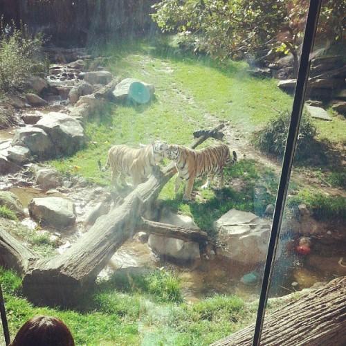 Philadelphia Zoo tigers